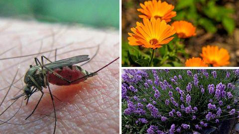 Diese Blumen helfen gegen Insekten