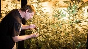 Frank-Josef Ackerman inspiziert seine Cannabis-Pflanzen.