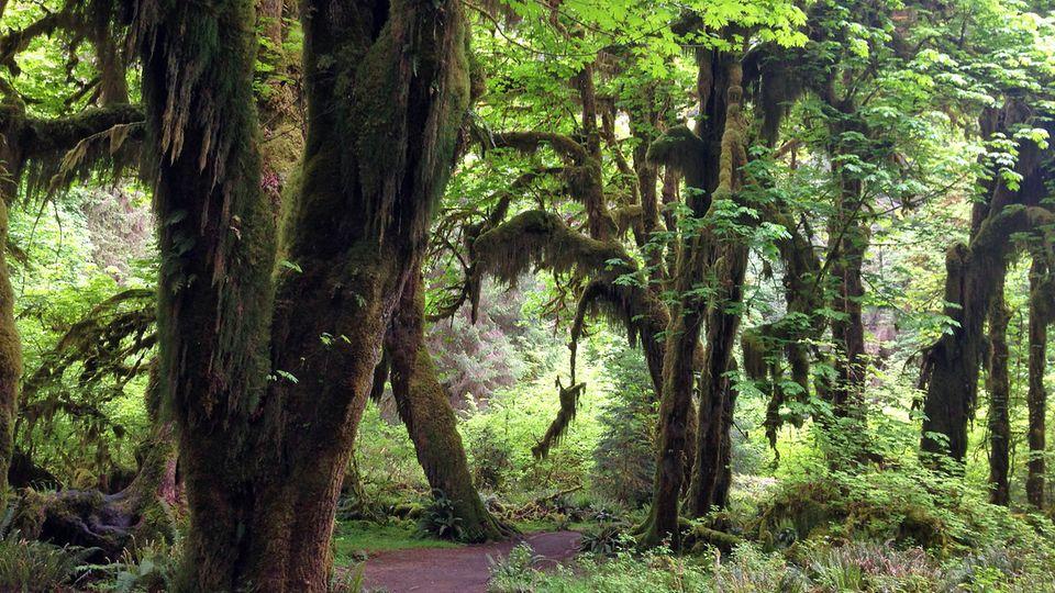 Durch den grünen Dschungel des Olympic National Park im Bundesstaat Washington