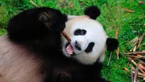 Jiaoqing ist einer der Pandas, die ab jetzt in Berlin leben
