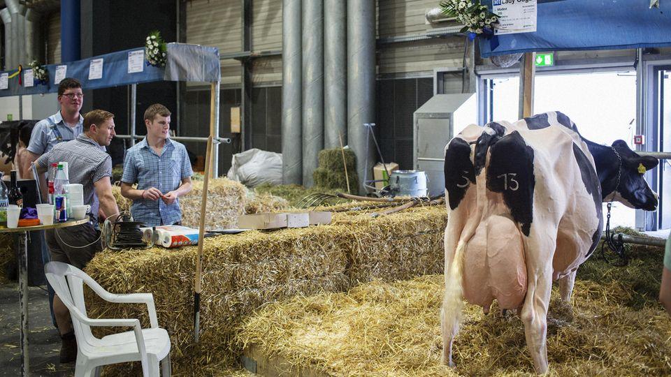 Fachkundige Blicke: Lady Gaga steht immer im Mittelpunkt. Die Kuh ist vergleichsweise alt. Aber noch immer in Topform