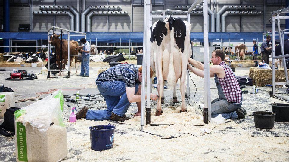 Vor dem Finale: Die Cow-Fitter Jonas Melbaum und Pat Lundy scheren Lady Gagas Fell