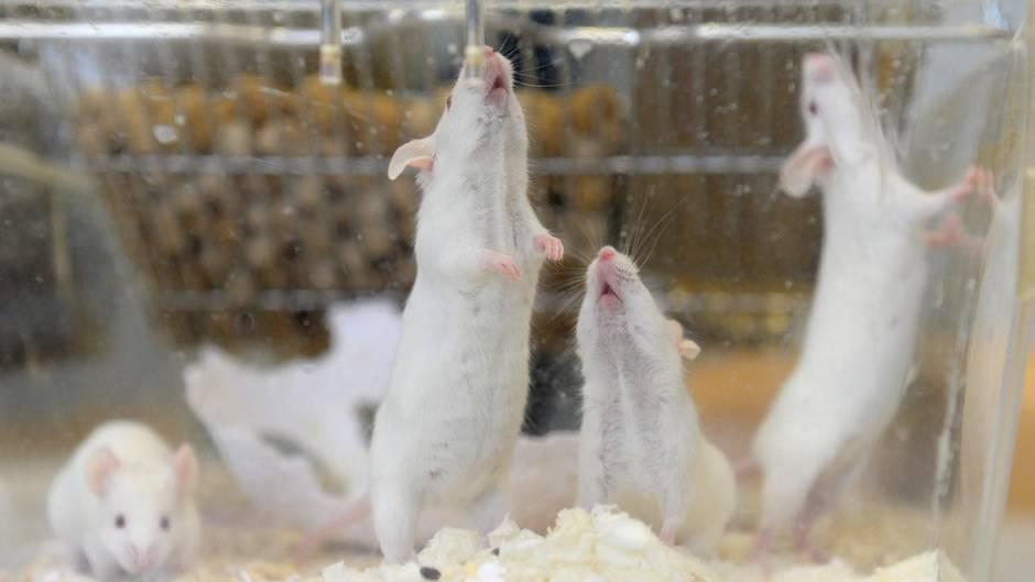 labormäuse münster tierquälerei