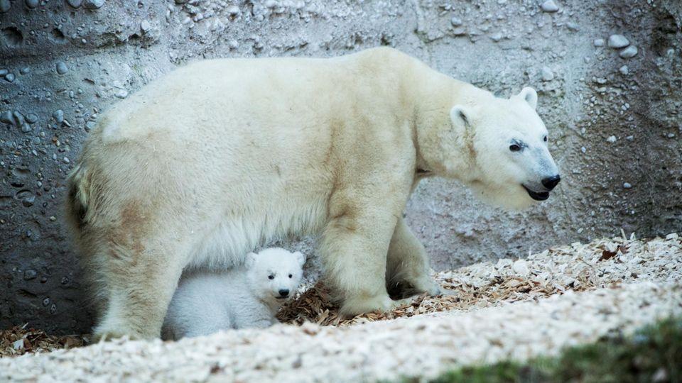 Eisbären-Baby Quintana im Münchner Tierpark Hellabrunn