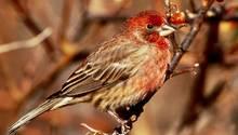 Zigaretten für den Nestbau: Ein Hausgimpel aus der Gattung der Finken