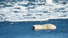 Ein Eisbär in der Hudson Bay vor der kandadischen Kleinstadt Churchill
