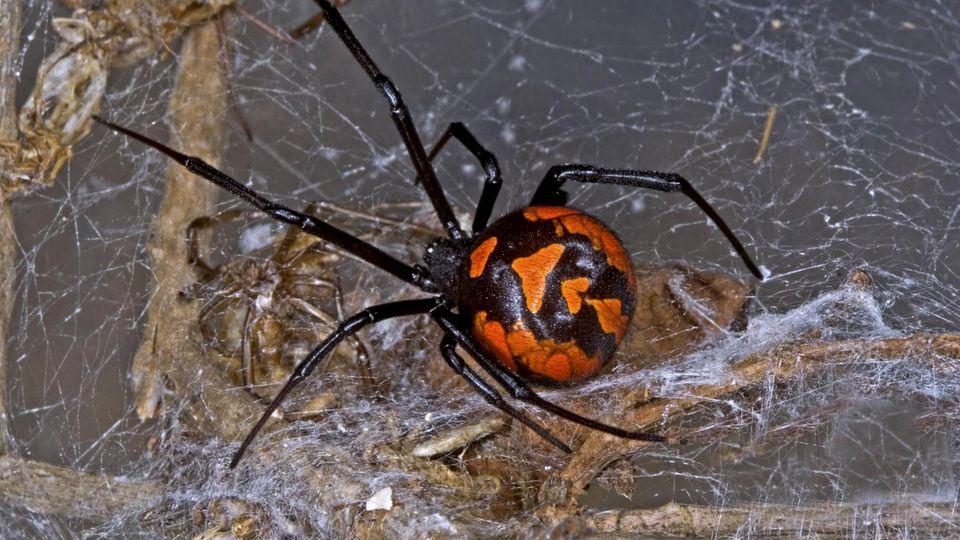 Eine Britin hat in einer Trauben-Packung eine Spinne entdeckt. Höchstwahrscheinlich ist es eine Schwarze Witwe.