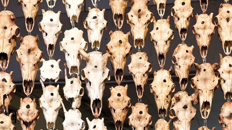 Sozial ambitionierte Kunst: Die samische Künstlerin Marét Ánne Saras aus Norwegen macht mit ihrem Vorhang aus Rentierschädeln auf die schwierige Lebenssituation ihrer Volksgruppe aufmerksam. Viele sind Rentierzüchter