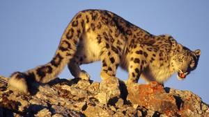 Der Leopard tötete das junge Mädchen und verschwand danach in der Wildnis