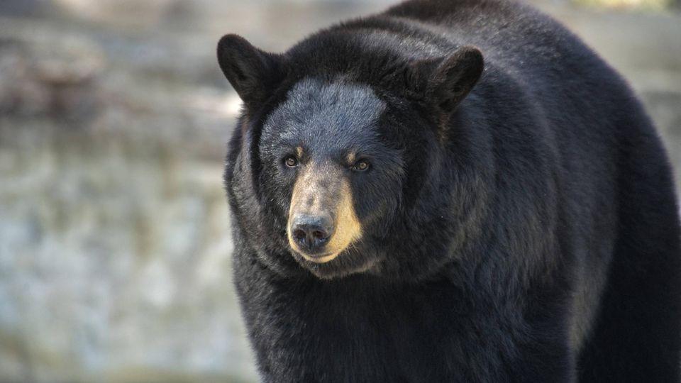 Ein Schwarzbär