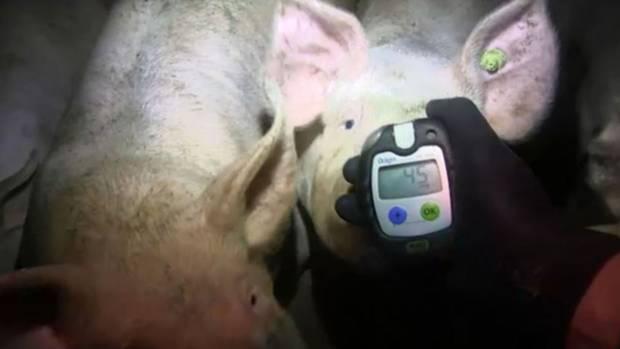 Die Tierschützer stellten unter anderem eine deutlich erhöhte Ammoniak-Konzentration fest. Hier: 45 ppm. Das ist mehr als das Doppelte des erlaubten Wertes.