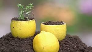 Halbe Zitronen mit Erde gefüllt. Aus einer wächst eine kleine Pflanze.
