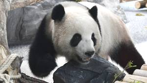 Panda-Dame Meng Meng spaziert durch ihr Innengehege im Berliner Zoo