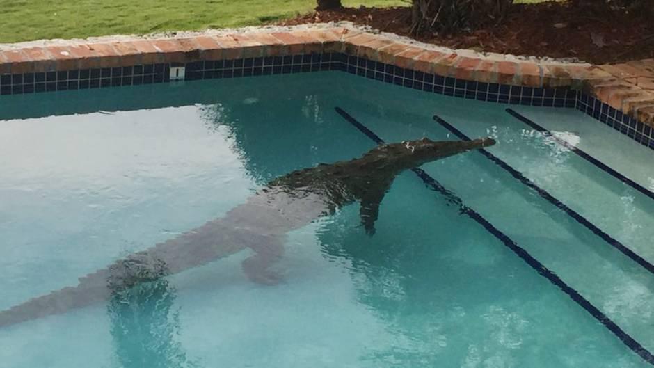 Krokodil liegt in einem Swimmingpool. In Mexiko ist ein Mann beim Baden angegriffen worden (Symbolbild)