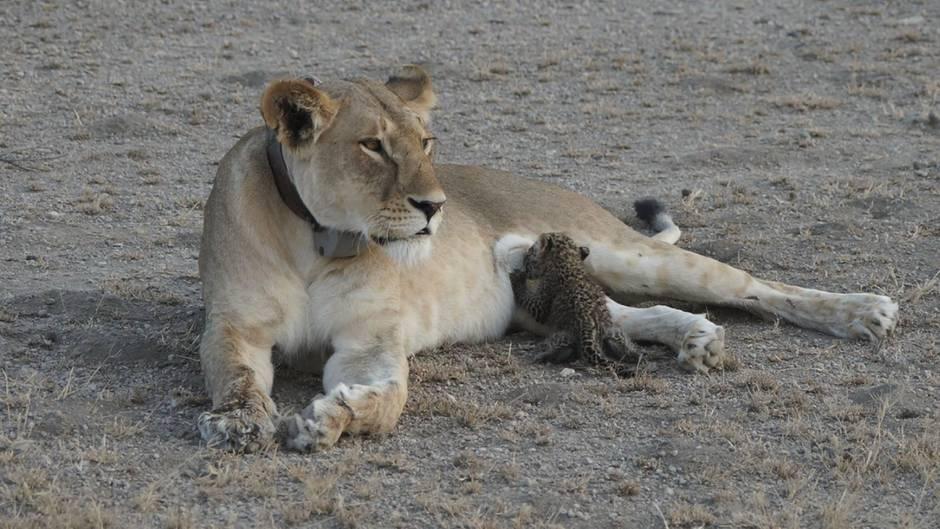 Löwin säugt Leoparden-Baby