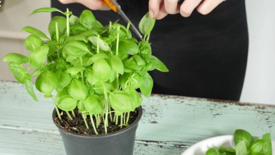 """Life Hack """"Küche"""": So bleibt Ihre Basilikum-Pflanze länger frisch"""