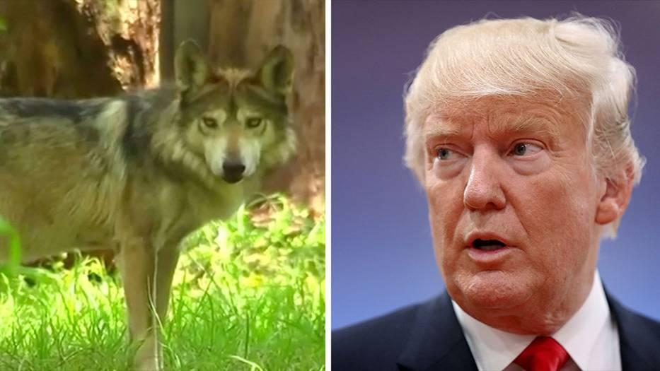 Donald Trump gefährdet den Mexikanischen Wolf