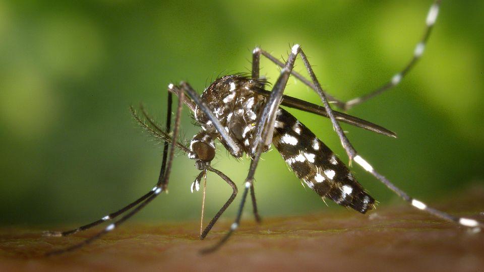 Zu sehen ist eine asiatische Tigermücke auf menschlicher Haut