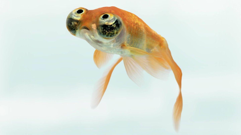Ein Goldfisch schwimmt in seinem Glas (Symbolbild). Auf Twitter ist ein Fisch viral gegangen