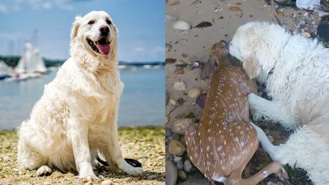 Begegnung im Wasser: Hund Harley holt Rehkitz aus dem See – der Beginn einer tierischen Freundschaft