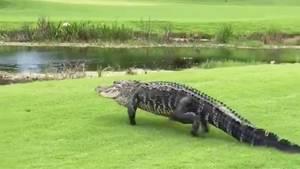 Florida: Alligator okkupiert Wasserhindernis auf Golfplatz