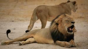 Löwe Cecil (vorn) starb 2015