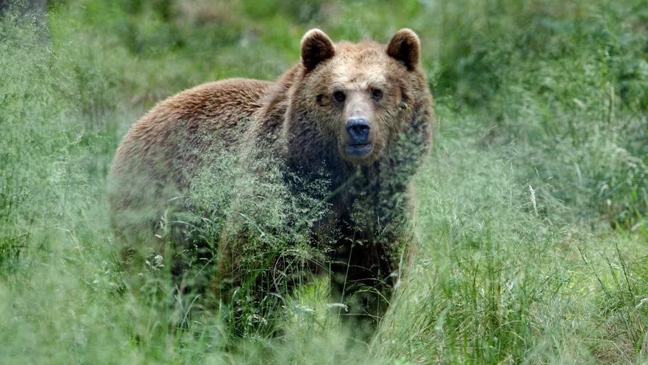 Braunbären hatten im Trentino schon zuvor zwei Menschen verletzt (Symbolbild)