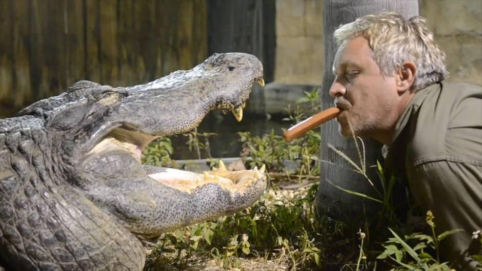 Waghalsiger Tierpfleger: Kann diese Alligator-Fütterung gut ausgehen?