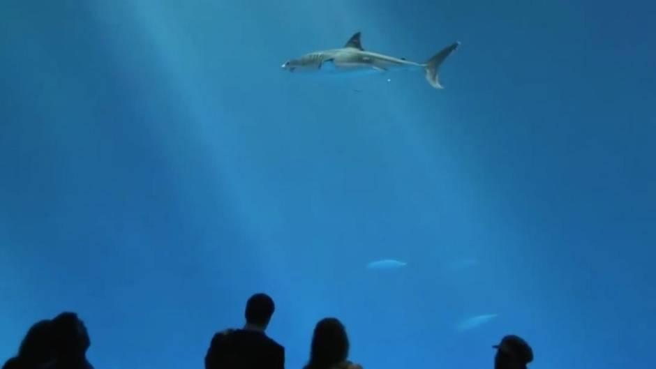 Faszinierende Raubfische: Kein Wasserpark hält Weiße Haie - und das ist der Grund