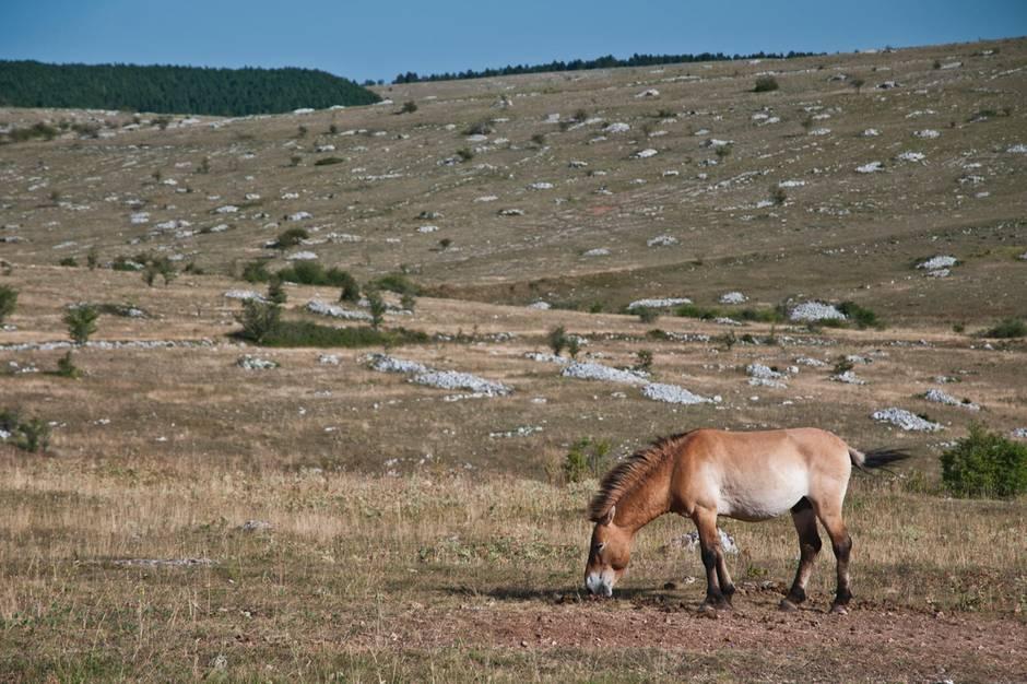 EinPrzewalski-Pferd in der weiten Steppe der Provinz Xingjang im Nordwesten Chinas.