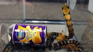 Eine Königskobra steht in aufrecht in einem Terrarium in den USA. Neben ihr liegt eine Chips-Dose.
