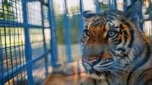 """Bursa, Türkei. Dieser Tiger wurde aus einem Vergnügungspark nahe der zerstörten syrischen Stadt Aleppo gerettet und soll nun in der Türkei von Mitarbeitern der Tierschutzstiftung """"Vier Pfoten"""" medizinisch behandelt werden."""