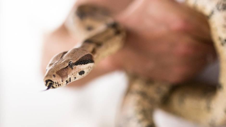 Eine Boa Constrictor hat in den USA ihrer Besitzerin ins Gesicht gebissen (Symbolbild)
