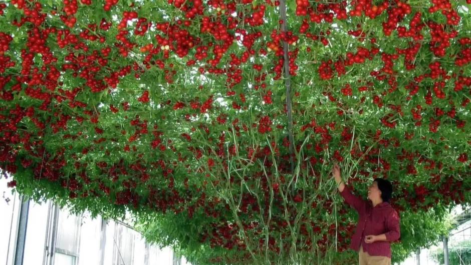 """""""Octopus Tree"""" : Rekord-Pflanze: An diesem Baum wachsen mehr als 32.000 Tomaten im Jahr"""