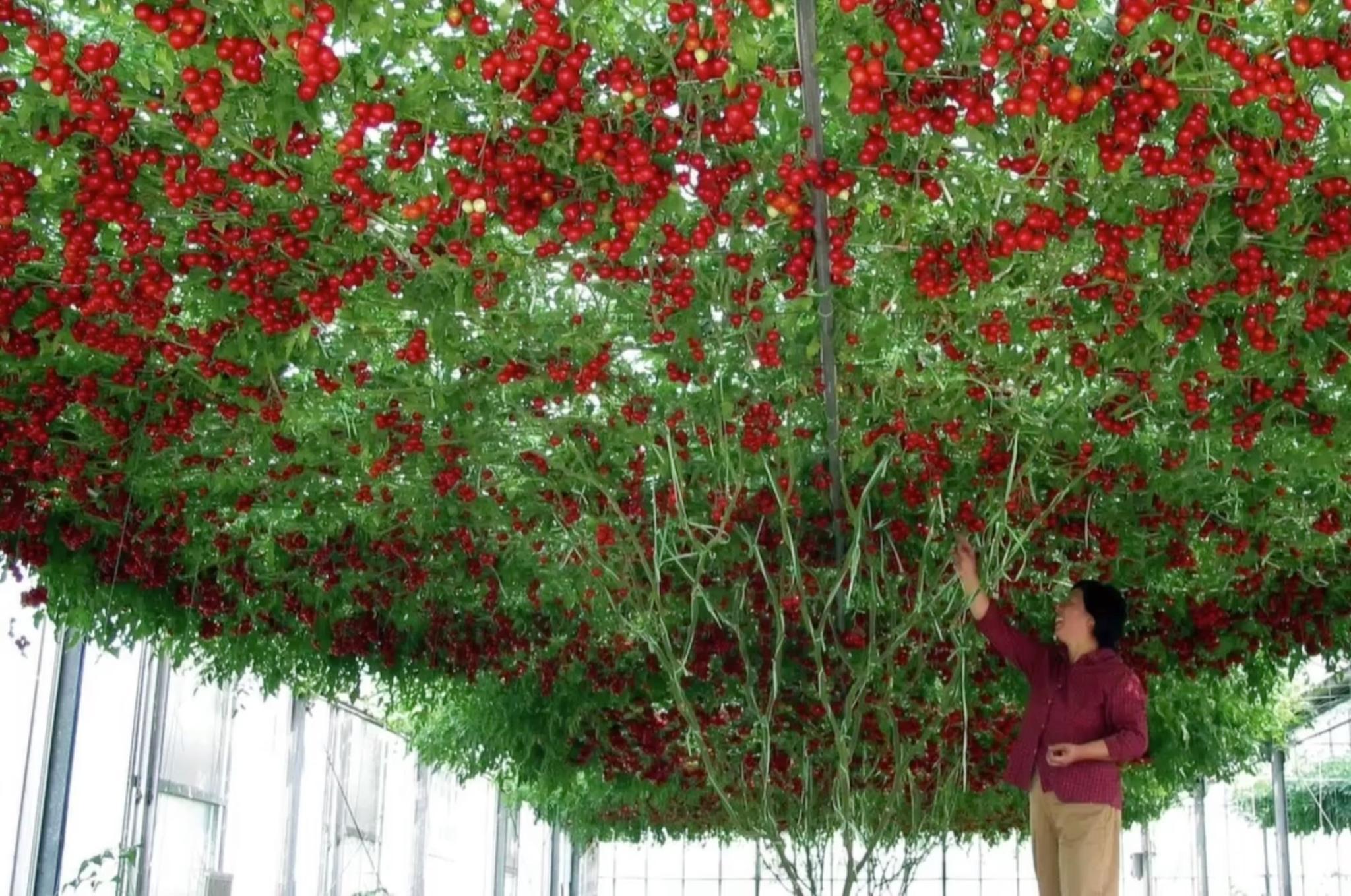 Octopus Tree An Diesem Baum Wachsen 32000 Tomaten Im Jahr Rekord