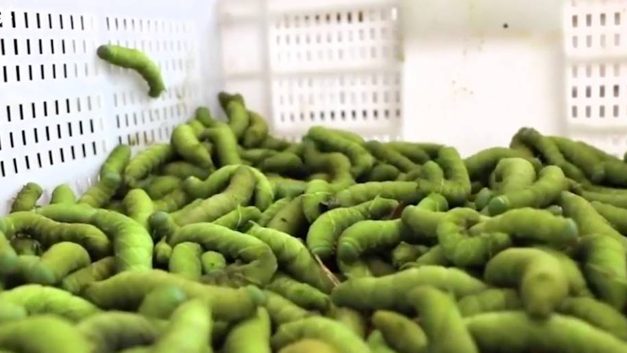 Ekelig oder gesund?: Darum sind grüne Raupen eine beliebte Delikatesse in China