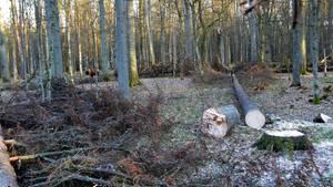 Der Bialowieza Urwald in Polen: Ein Baum liegt abgesägt am Boden. Die EU fordert Polen erneut auf, die Abholzung zu stoppen.