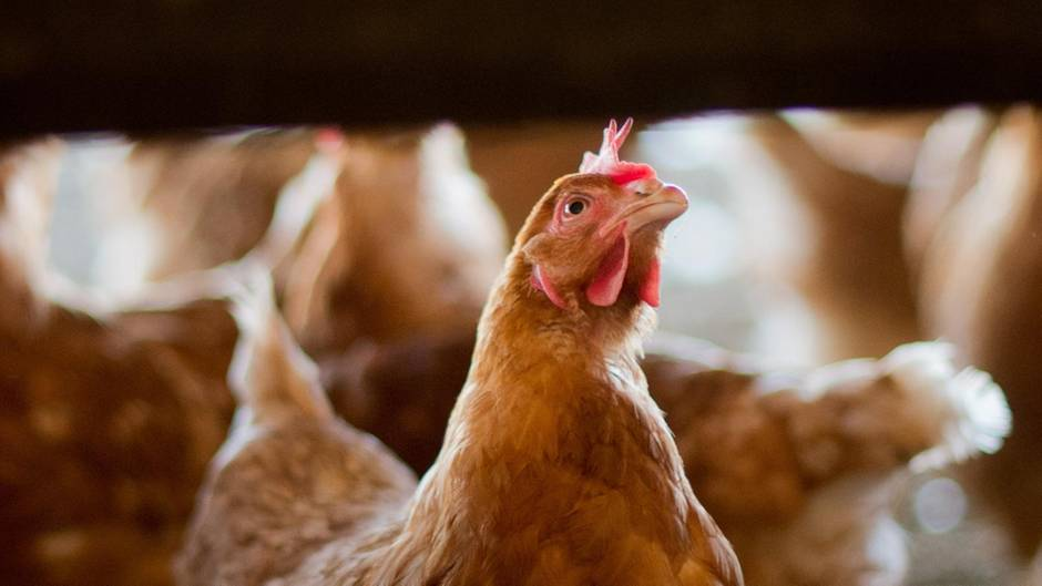 Skandal um Gift-Eier: Legehennen in einem Stall in Niedersachsen