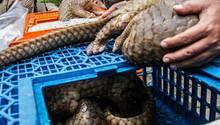 Diese Pangoline sollten nach Malaysia geschmuggelt werden
