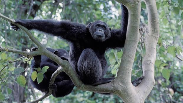Milzbrand tötet unerwartet viele Schimpansen: Zwei Schimpansen sitzen in einem Baum in Tansania