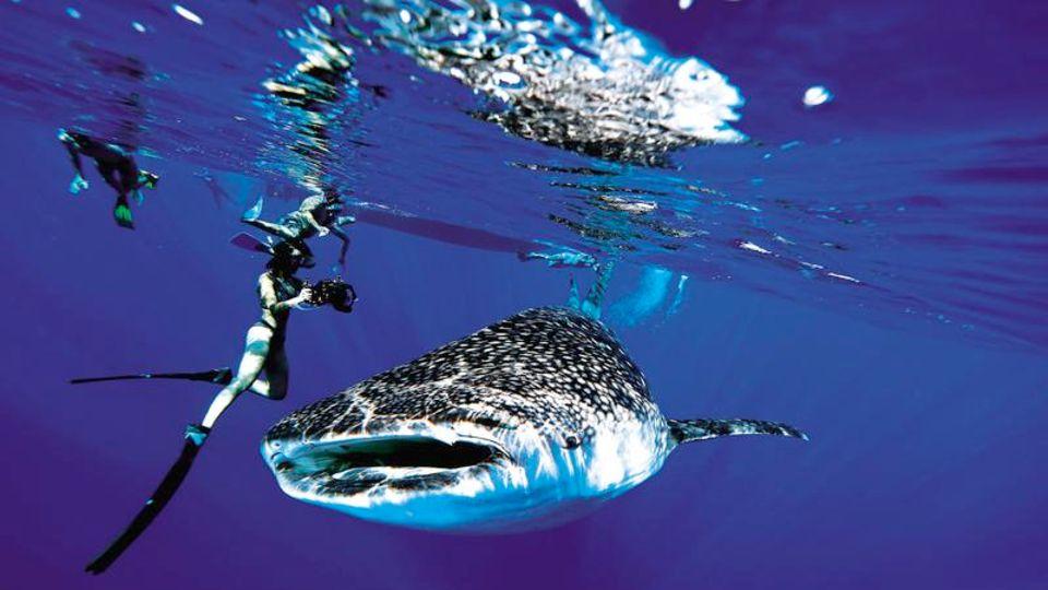 Auf seiner Suche traf das Taucherteam auch auf den größten Hai der Welt, den Walhai. Er wird bis zu 13 Meter lang und ernährt sich von Plankton und kleineren Fischen. Für Menschen ist er ungefährlich