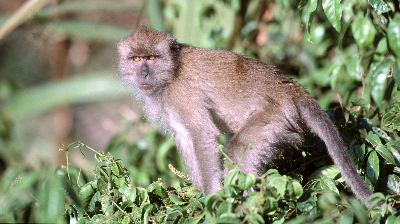 News des Tages: Indonesien lässt Armee gegen Affen aufmarschieren