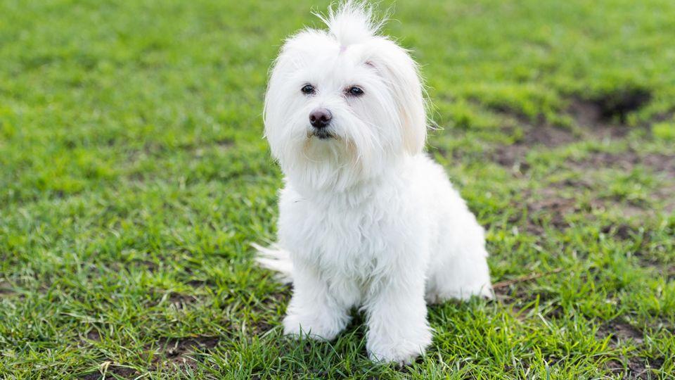 Malteser sind sehr kleine Hunde, sie haben weißes, langes Fell