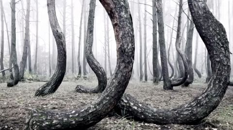 Krumme Bäume im polnischen Wald
