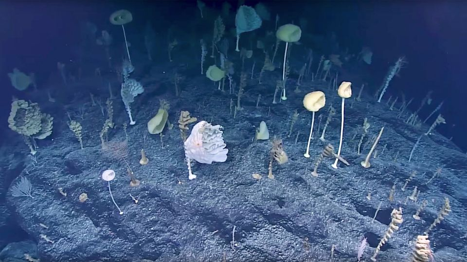 Pazifik: US-Forscher entdecken bizarren Wald am Meeresgrund