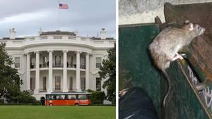 Washington ist unterwandert - die Stadt wird von Ratten geplagt