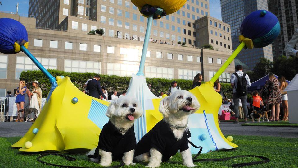 """Die Malteser Shih Tzus Lily (l.) und Lulu vor der Skulptur """"Harmony in Blue and Yellow"""" auf der Dogumenta"""