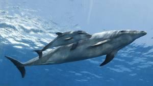 Ein junger Delfin mit seiner Mutter vor der Küste Japans