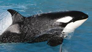 """Der Orca-Wal """"Kasatka"""" während einer Show im SeaWorld-Park in San Diego, Kalifornien"""