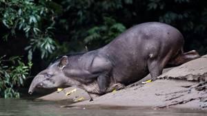 Ein Tapir beugt sich über eine Wasserstelle